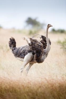 Ostrich Female by Richard Du Toit