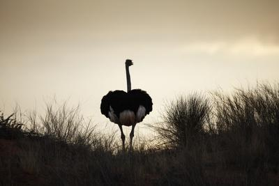 Ostrich Silhouette, South Africa