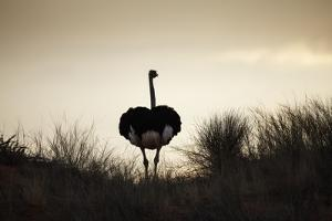 Ostrich Silhouette, South Africa by Richard Du Toit