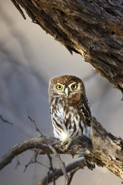 Pearlspotted Owl, South Africa by Richard Du Toit