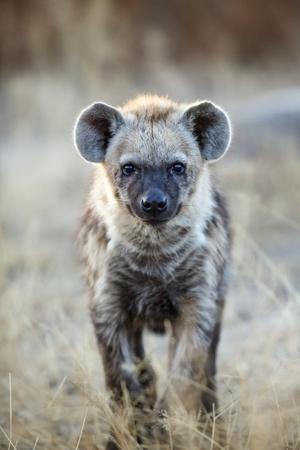 Spotted Hyena, South Africa
