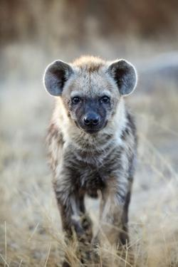 Spotted Hyena, South Africa by Richard Du Toit