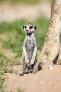 Suricate Standing, South Africa by Richard Du Toit