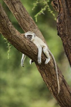 Vervet Monkey (Chlorocebus Aethiops) Resting in Tree by Richard Du Toit