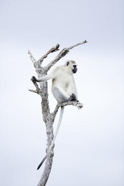 Vervet Monkey, South Africa by Richard Du Toit