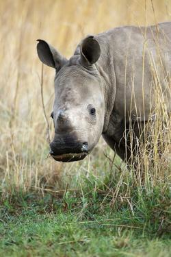 White Rhino Calf by Richard Du Toit
