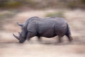White Rhino by Richard Du Toit