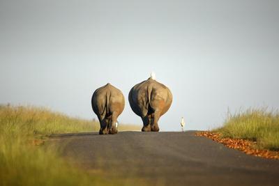 White Rhinos Walking on Road, Rietvlei Nature Reserve