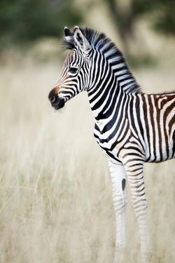 Zebra Baby by Richard Du Toit