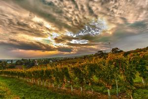 Austria, Vienna, urban vineyards. by Richard Duval