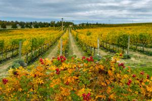Autumn in Leonetti Vineyard, Walla Walla, Washington, USA by Richard Duval