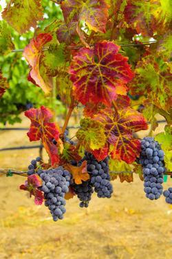 Cabernet Sauvignon Grapes in Columbia Valley, Washington, USA by Richard Duval