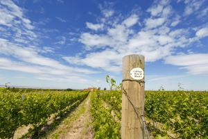 Cabernet Sauvignon Vineyards, Pepper Bridge Winery, Washington, USA by Richard Duval