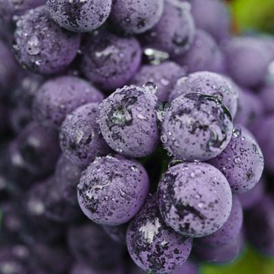Chianti Grapes Ready for Harvest, Greve, Tuscany, Italy by Richard Duval