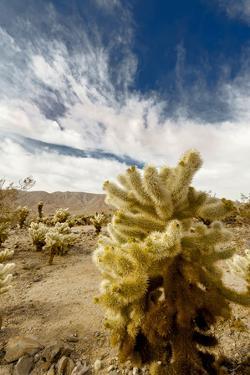 Cholla Blooms, Joshua Tree National Park, California, USA by Richard Duval