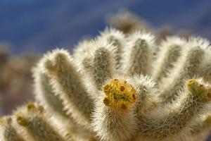Cholla Blooms, Joshua Tree National Park, California, USA by Richard Duval