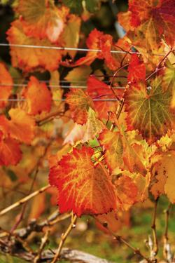 Fall Color in a Vineyard, Tri Cities, Washington, USA by Richard Duval