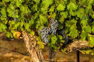 Grapes Ready for Harvest in Eastern Yakima Valley, Washington, USA by Richard Duval