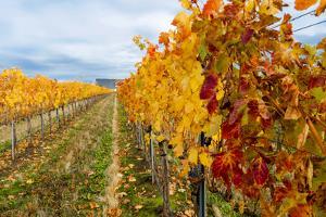 Les Collines Vineyard in Autumn, Walla Walla, Washington, USA by Richard Duval