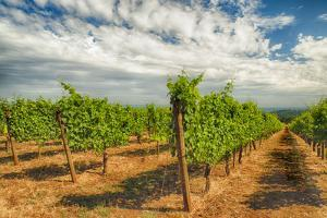 Oregon, Dundee. Vineyard in Dundee Hills by Richard Duval