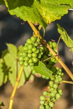 Pinot Gris Grapes Ripen at a Whidbey Island Vineyard, Washington, USA by Richard Duval