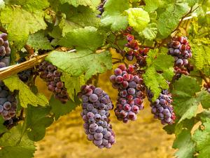 Pinot Noir Grapes in Eastern Yakima Valley, Washington, USA by Richard Duval
