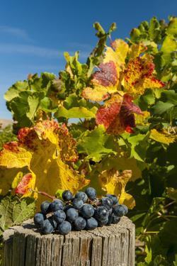 USA, Washington. Merlot Grapes in Eastern Washington Vineyard by Richard Duval