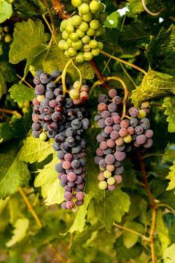 USA, Washington, Okanogan Valley, Omak. Pinot Grapes in Vineyard by Richard Duval