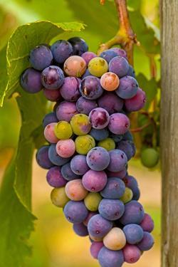 USA, Washington, Okanogan Valley. Pinot Grapes in Veraison in Vineyard by Richard Duval