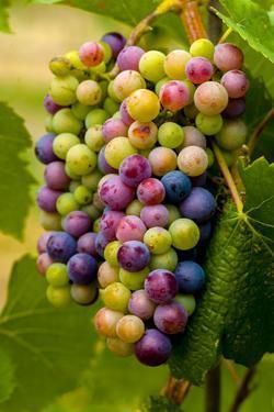 USA, Washington, Okanogan Valley. Pinot Grapes in Veraison in Vineyard by Richard Duval
