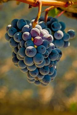 USA, Washington, Pasco. Cabernet Grapes Ready for Harvest by Richard Duval