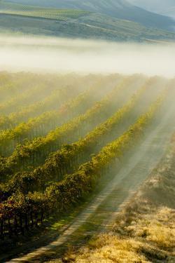 USA, Washington, Pasco. Fog and Harvest in a Washington Vineyard by Richard Duval