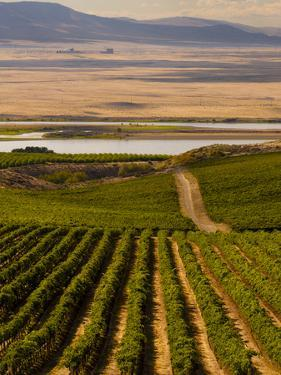 USA, Washington, Pasco. Harvest in Eastern Washington Vineyard by Richard Duval