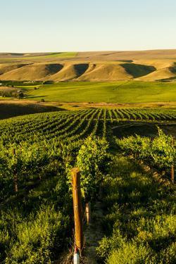 USA, Washington State, Richland. Goose Ridge vineyard at dawn. by Richard Duval