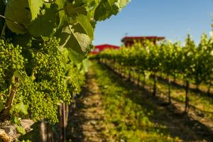 USA, Washington State, vineyard by Richard Duval