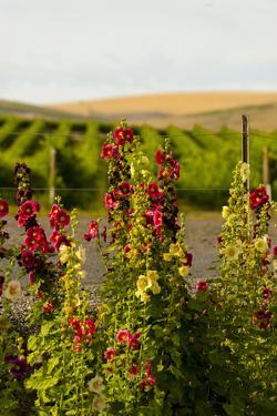 USA, Washington State, Walla Walla. Wildflowers in the Seven Hills vineyard. by Richard Duval