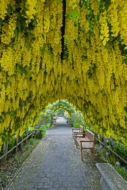 USA, Whidbey Island, Langley. Golden Chain Tree on a Metal Frame by Richard Duval