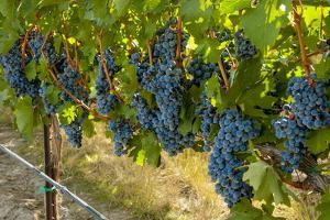Washington, Red Mountain. Cabernet Sauvignon Grapes Near Harvest at Col Solare on Red Mountain by Richard Duval