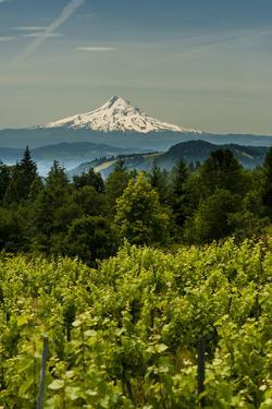 Washington State, Columbia River Gorge. Vineyard with Mt. Hood in the Background by Richard Duval
