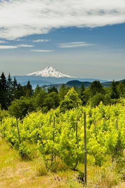 Washington State, Columbia River Gorge. Vineyard with View of Mt. Hood by Richard Duval