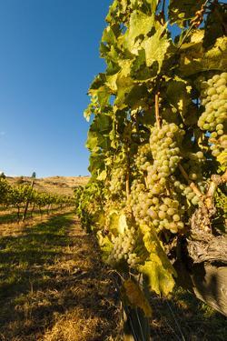 Washington State, Lake Chelan. Riesling Grape Cluster by Richard Duval