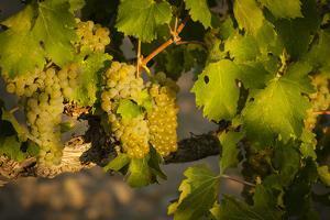 Washington State, Mabton. Viognier Grapes by Richard Duval