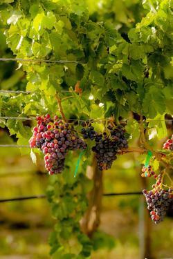 Washington State, Mattawa. Grenache Grapes by Richard Duval