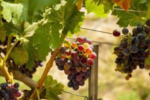 Washington State, Mattawa. Merlot Grapes by Richard Duval
