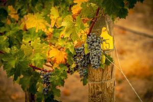 Washington State, Red Mountain. Cabernet Sauvignon Grapes at Hightower Cellars by Richard Duval