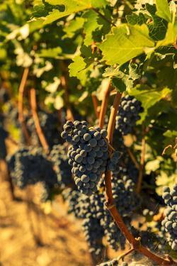 Washington State, Red Mountain. Petit Syrah in a Vineyard by Richard Duval