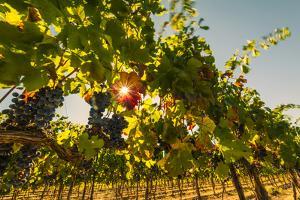 Washington State, Red Mountain. Petit Verdata Grapes on Red Mountain at Harvest Season by Richard Duval