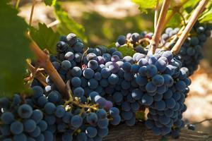 Washington State, Red Mountain. Petit Verdot Grapes by Richard Duval