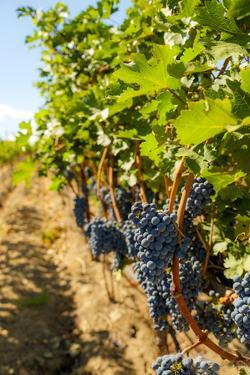 Washington State, Red Mountain. Vineyard Near Harvest by Richard Duval