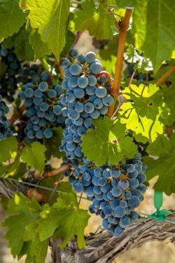 Washington State, Red Mountain. Winemaker with Merlot Grapes by Richard Duval